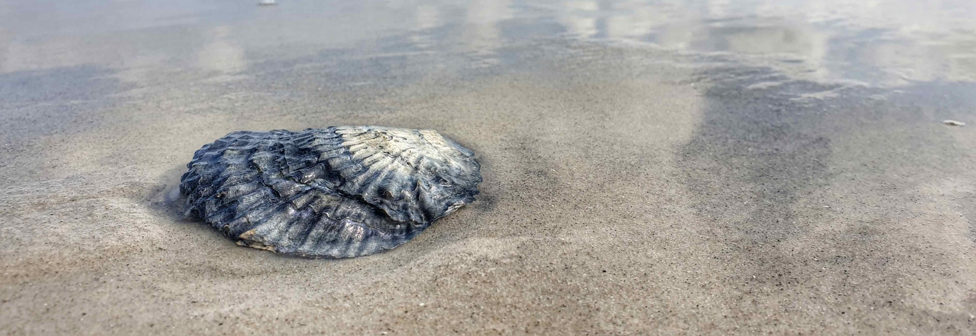 Auster am Strand von Amrum, © Stephanie Wörner