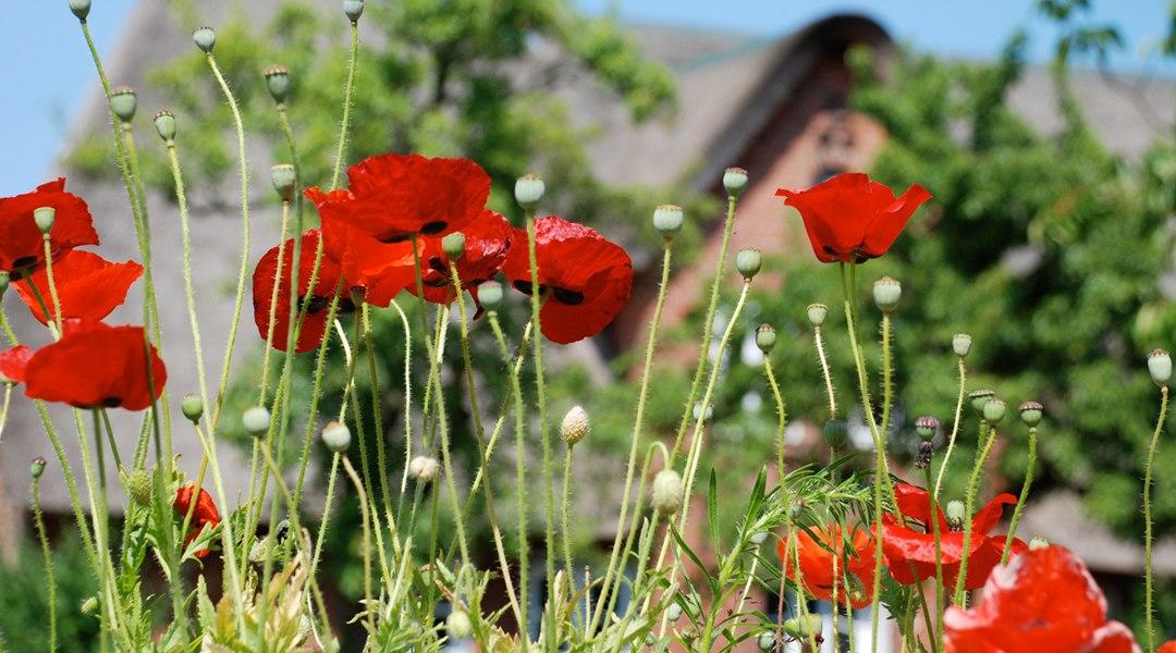 Süddorf-Amrum-Friesenhaus-Blumen, © Kai Quedens