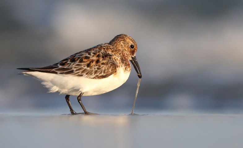 Sanderling, © Sven Sturm