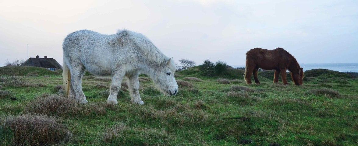Pferde auf Amrum, © KQuedens