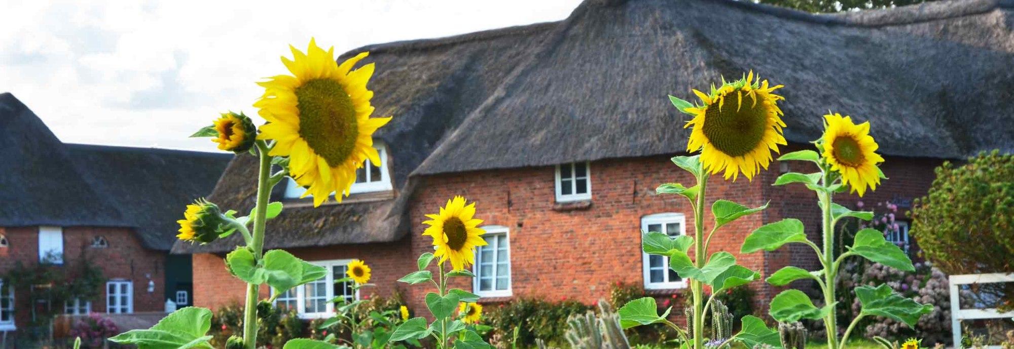 Süddorf-Haus-mit-Sonnenblumen, © KQuedens