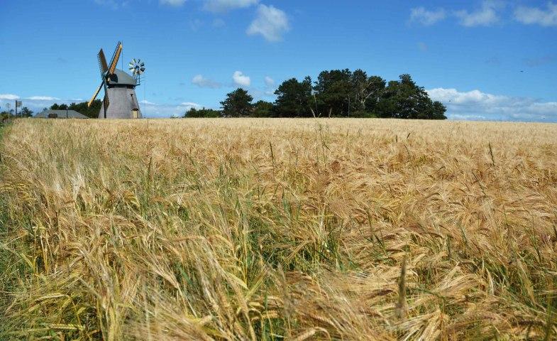 Amrumer Windmühle mit Kornfeld, © Kai Quedens