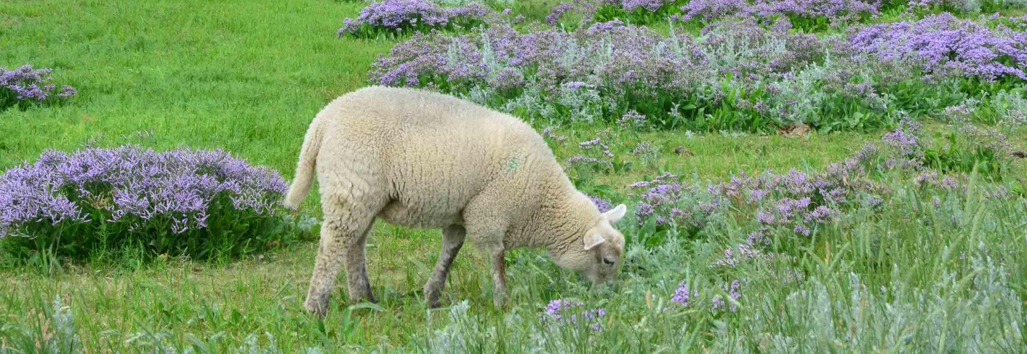Halligflieder und Schafe auf Amrum, © KQuedens